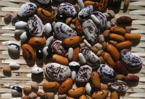 heirloom bean seeds