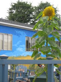 Sunflower at the Community Garden at Holy Nativity