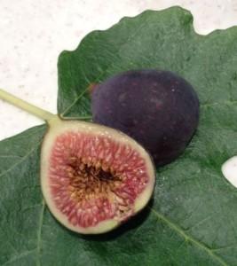 Black Jack dwarf fig