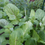 A quick and easy cool-season vegetable garden