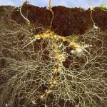 About Mycorrhizal fungus